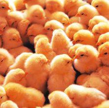 양계용 Poultry
