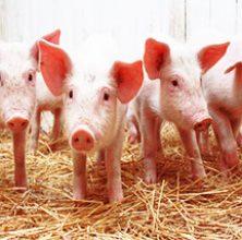 양돈용 Swine